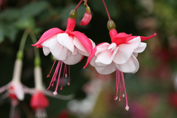 Amazing Fuchsia Pictures & Backgrounds