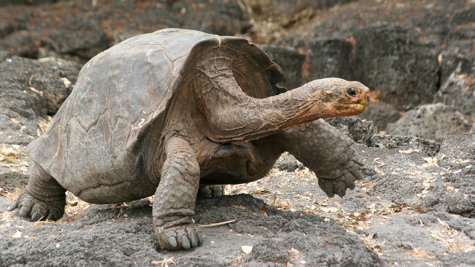 Images of Galápagos Tortoise | 1600x900