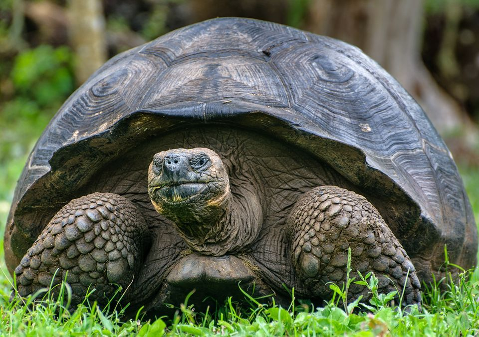 HQ Galápagos Tortoise Wallpapers | File 148.14Kb