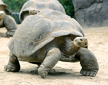HD Quality Wallpaper | Collection: Animal, 350x277 Galápagos Tortoise
