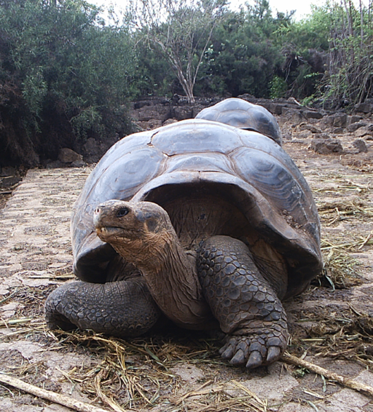 Nice Images Collection: Galápagos Tortoise Desktop Wallpapers