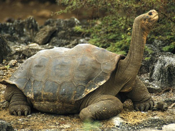 Amazing Galápagos Tortoise Pictures & Backgrounds