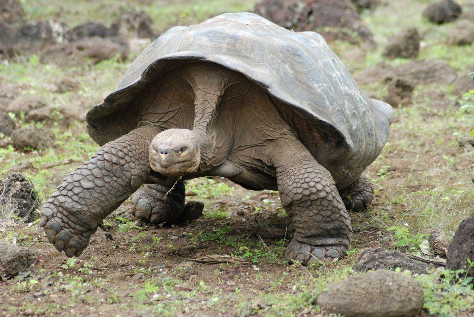 High Resolution Wallpaper | Galápagos Tortoise 960x642 px