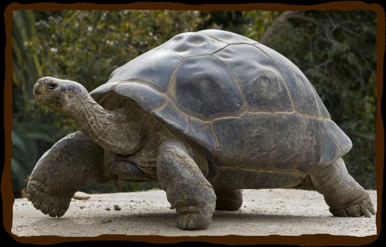 Galápagos Tortoise Pics, Animal Collection