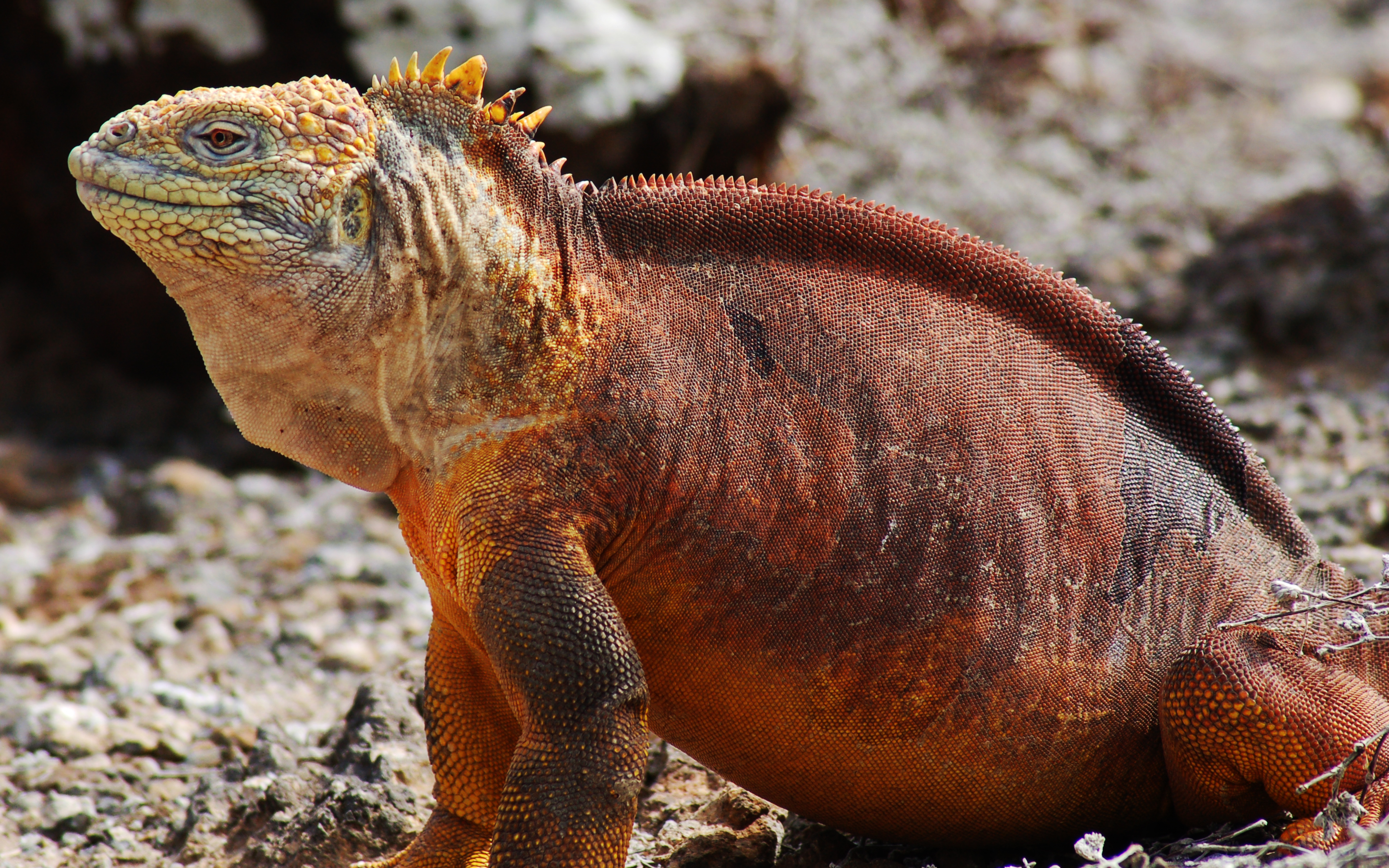 Galapagos Land Iguana Backgrounds on Wallpapers Vista