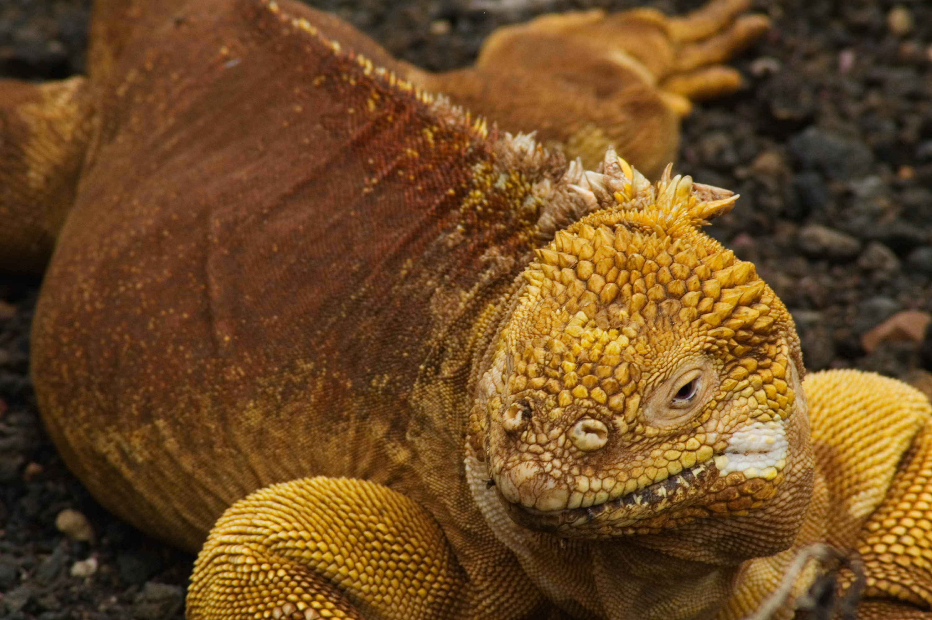 Images of Galapagos Land Iguana | 3008x2000