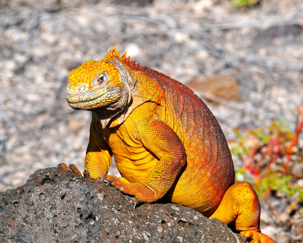 Nice wallpapers Galapagos Land Iguana 1024x819px