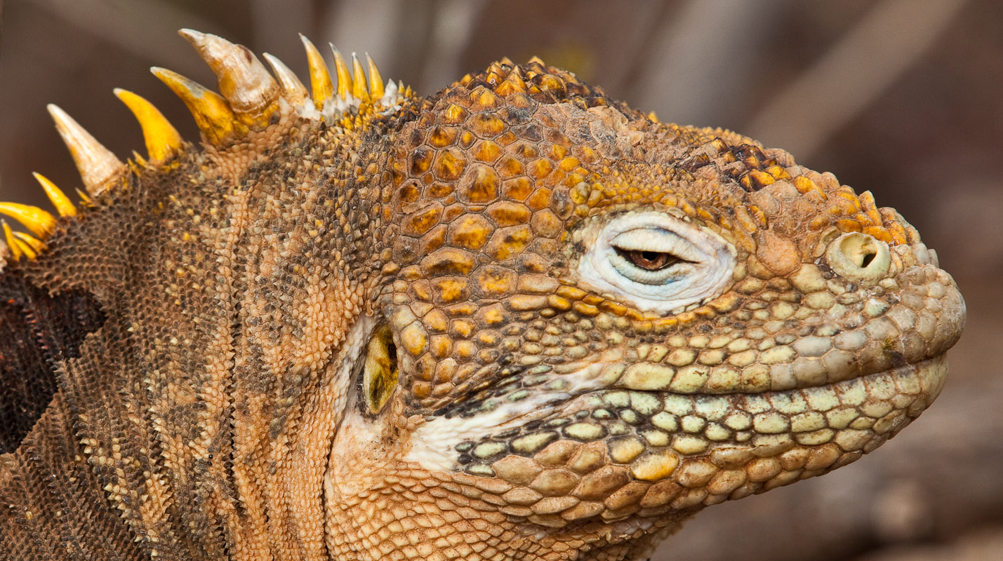 High Resolution Wallpaper | Galapagos Land Iguana 1429x800 px