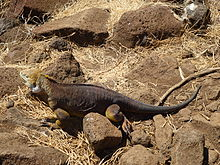 Images of Galapagos Land Iguana | 220x165