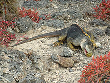 Nice wallpapers Galapagos Land Iguana 220x165px