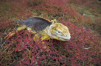 Images of Galapagos Land Iguana | 350x230