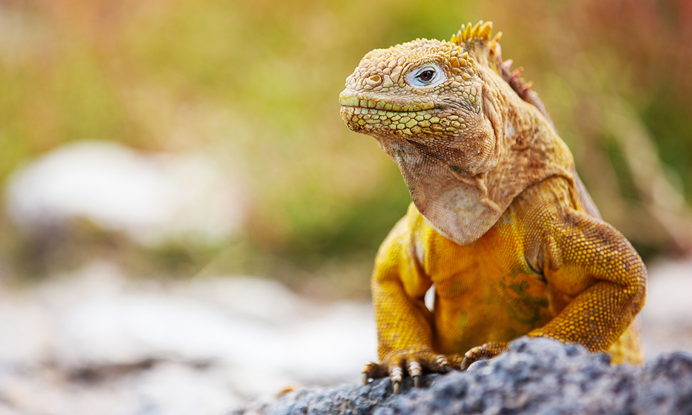 1000x600 > Galapagos Land Iguana Wallpapers