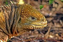 HD Quality Wallpaper | Collection: Animal, 220x147 Galapagos Land Iguana