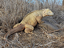 Amazing Galapagos Land Iguana Pictures & Backgrounds