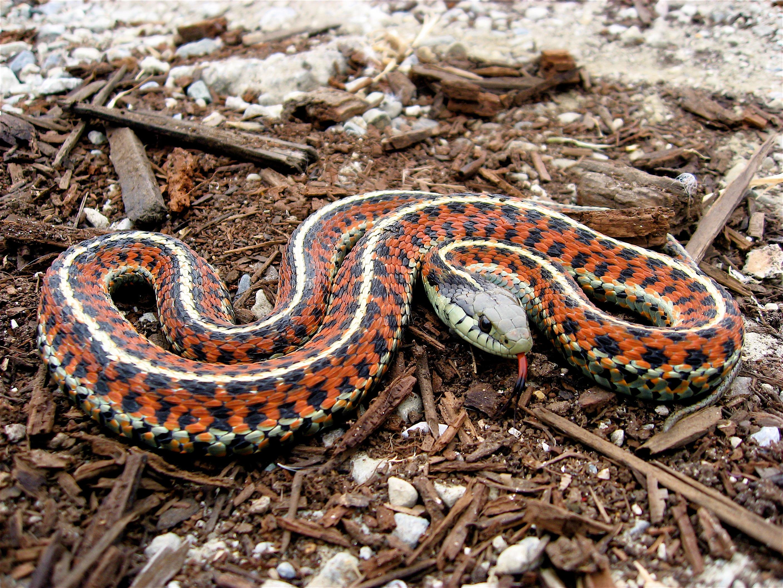 HQ Garter Snake Wallpapers | File 4495.21Kb