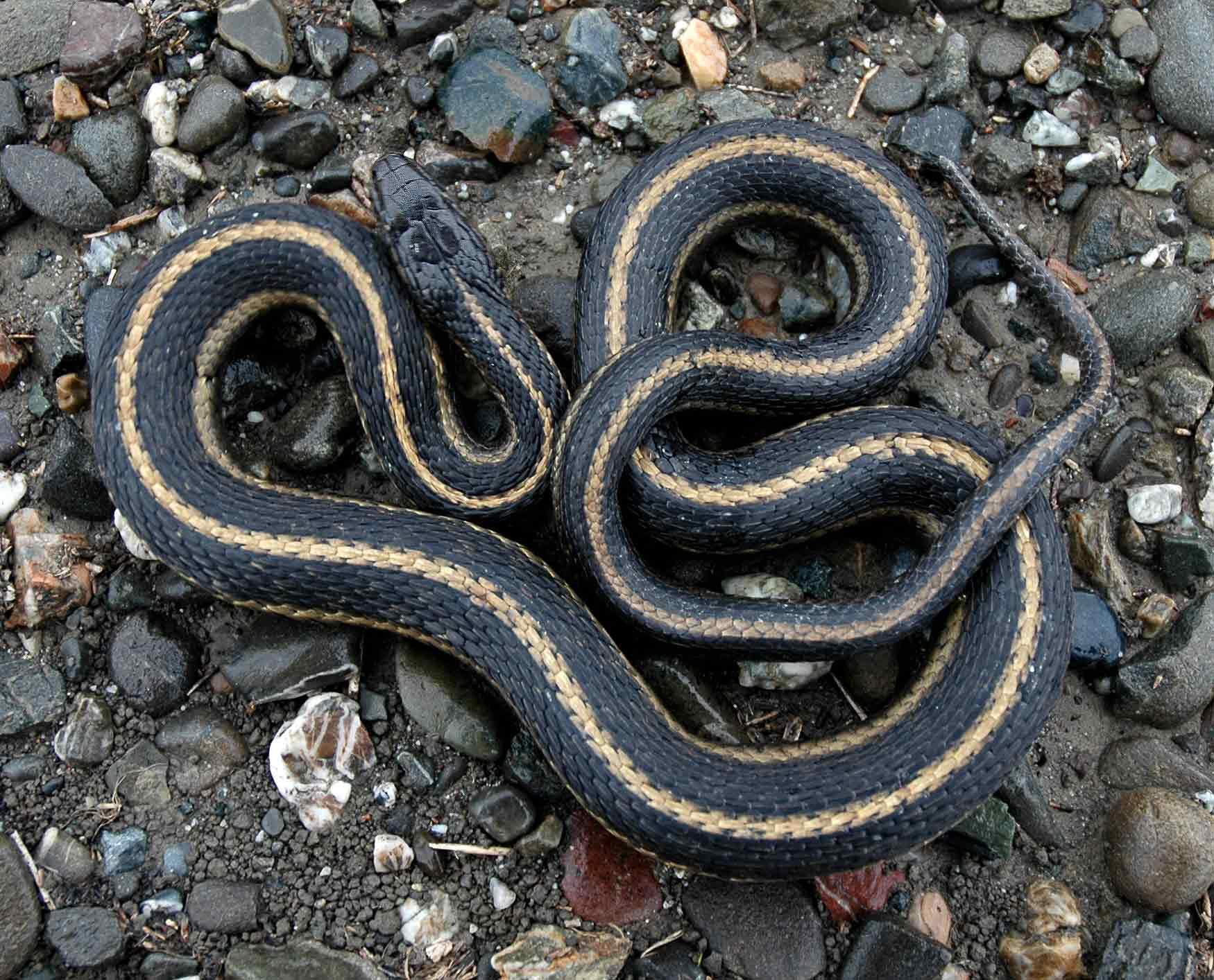 Nice Images Collection: Garter Snake Desktop Wallpapers