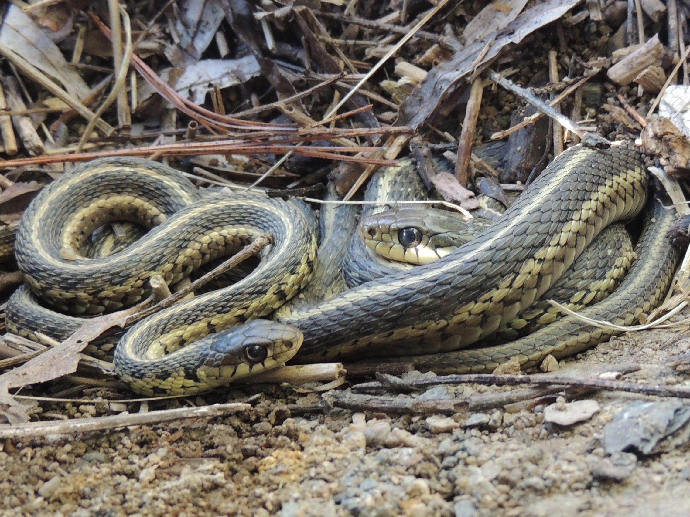 Garter Snake Backgrounds on Wallpapers Vista
