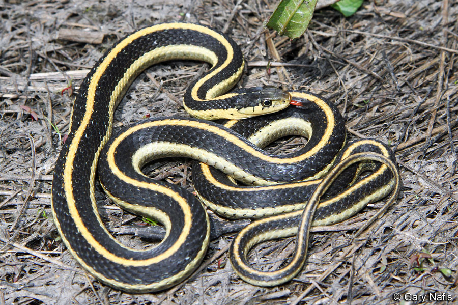 HD Quality Wallpaper | Collection: Animal, 900x599 Garter Snake