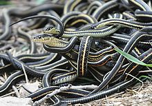 Garter Snake Backgrounds, Compatible - PC, Mobile, Gadgets| 220x154 px