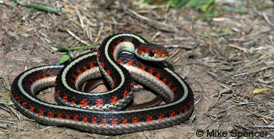 Garter Snake Pics, Animal Collection