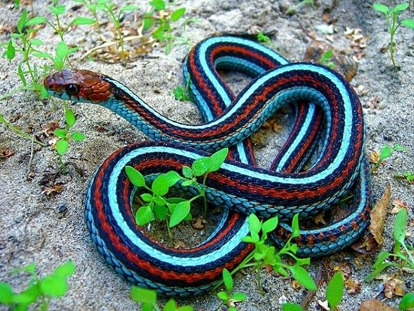 Images of Garter Snake | 600x450