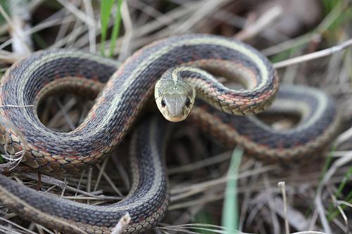 500x333 > Garter Snake Wallpapers