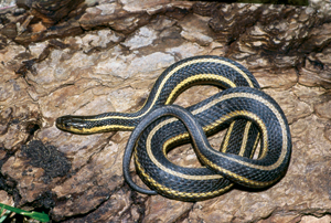 Garter Snake High Quality Background on Wallpapers Vista