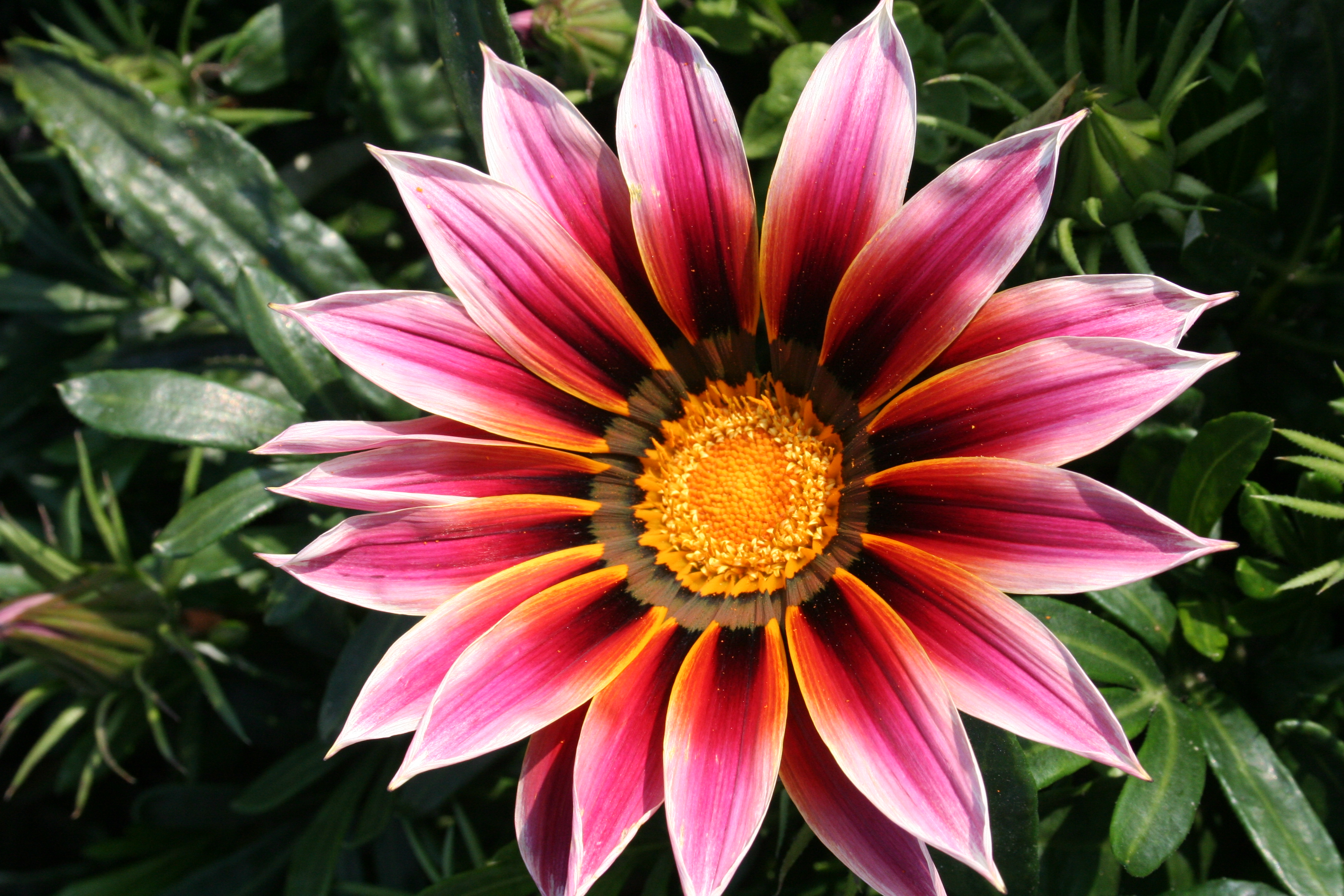 Nice Images Collection: Gazania Desktop Wallpapers