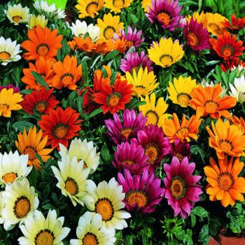 Gazania High Quality Background on Wallpapers Vista