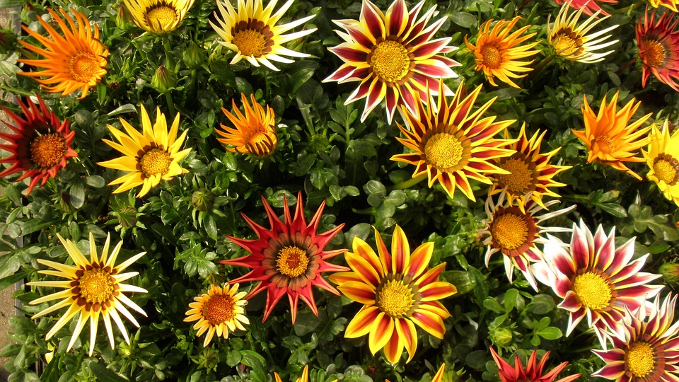 HQ Gazania Wallpapers | File 278.74Kb