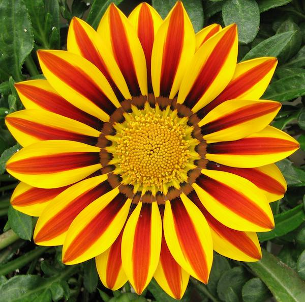 Amazing Gazania Pictures & Backgrounds