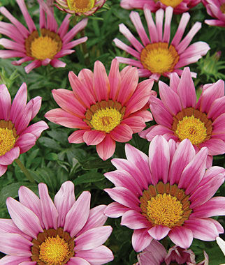 Gazania Pics, Earth Collection