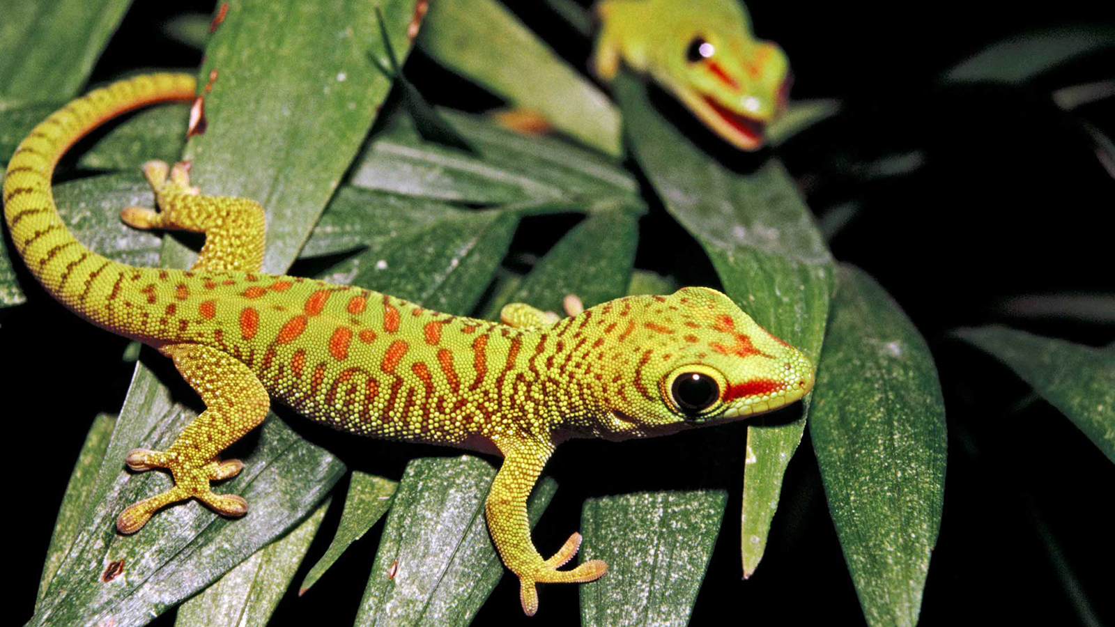 Gecko High Quality Background on Wallpapers Vista