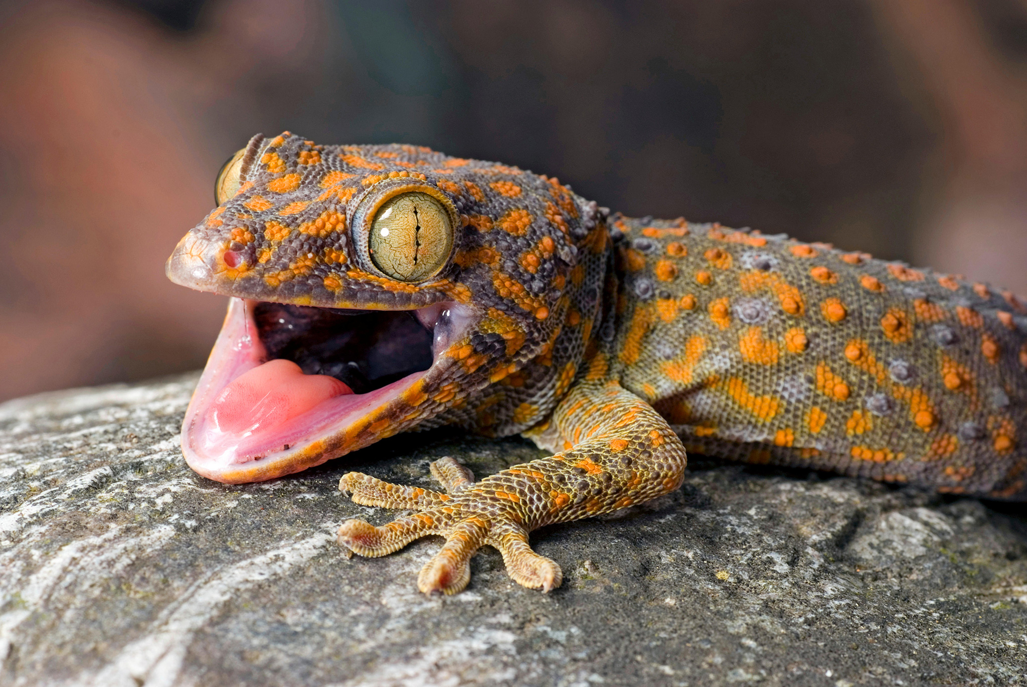 HD Quality Wallpaper | Collection: Animal, 2048x1371 Gecko