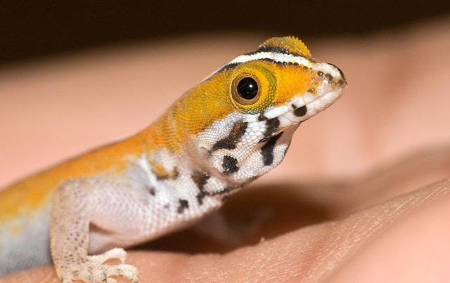 HD Quality Wallpaper | Collection: Animal, 640x403 Gecko