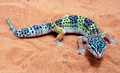 500x303 > Gecko Wallpapers
