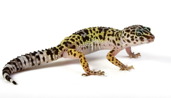 HQ Gecko Wallpapers   File 29.07Kb