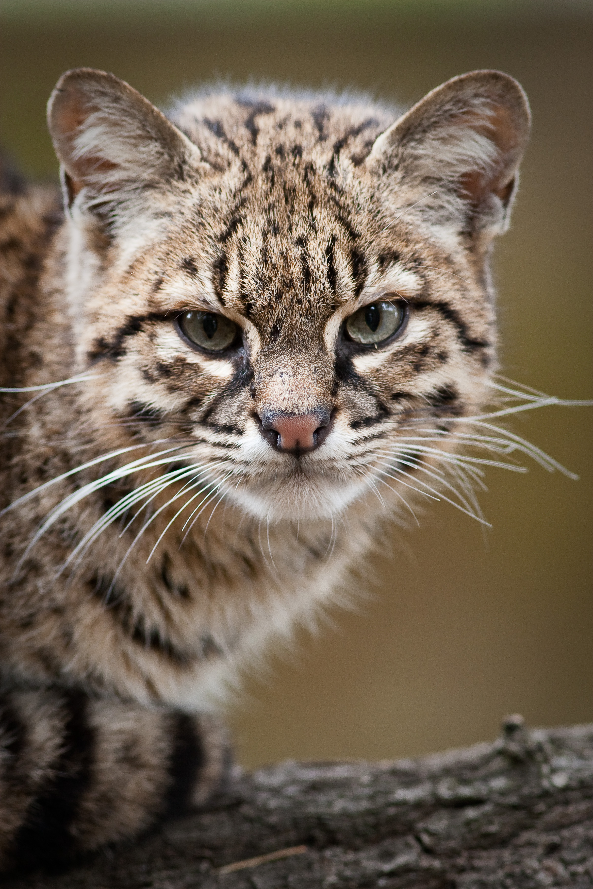 HQ Geoffroy's Cat Wallpapers | File 2345.03Kb