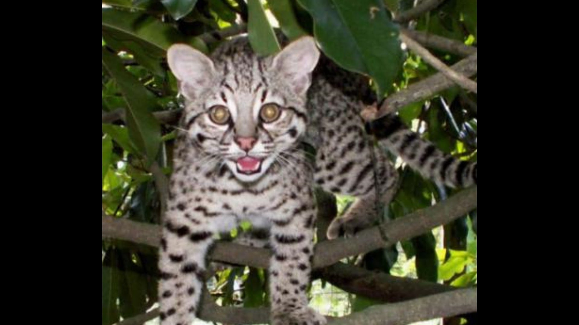 Nice wallpapers Geoffroy's Cat 1920x1080px