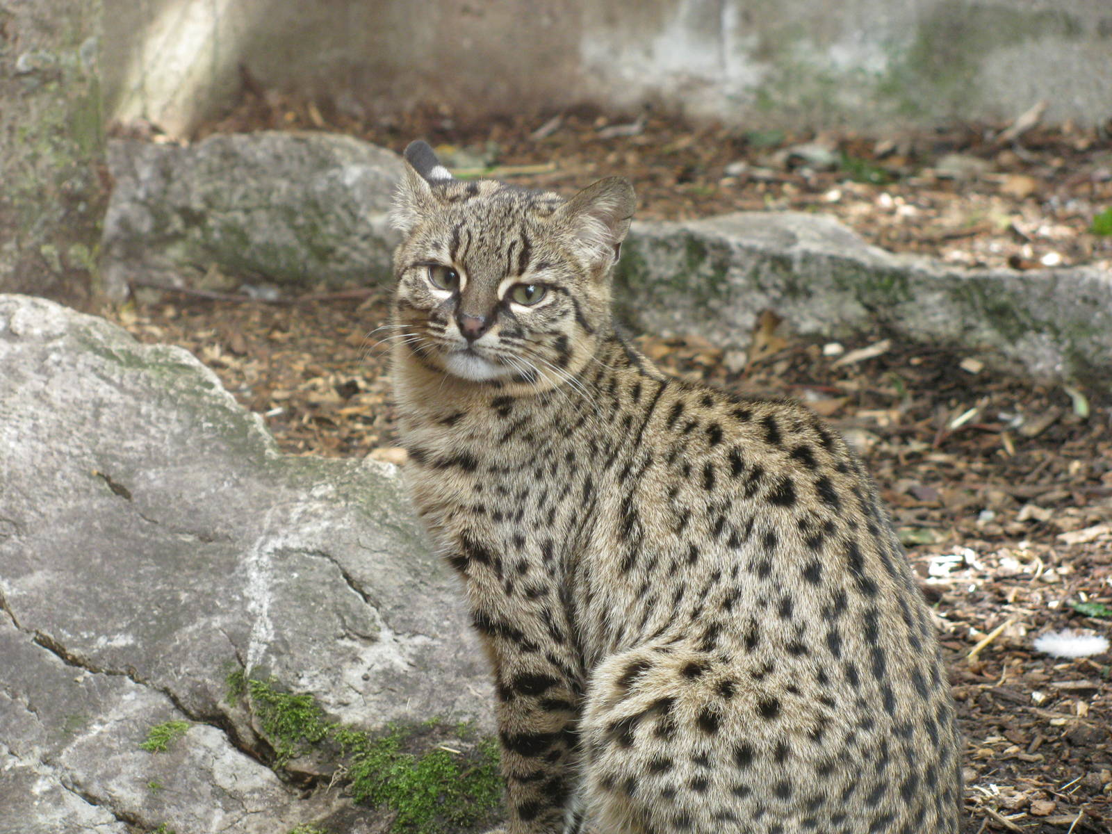 Nice wallpapers Geoffroy's Cat 1600x1200px