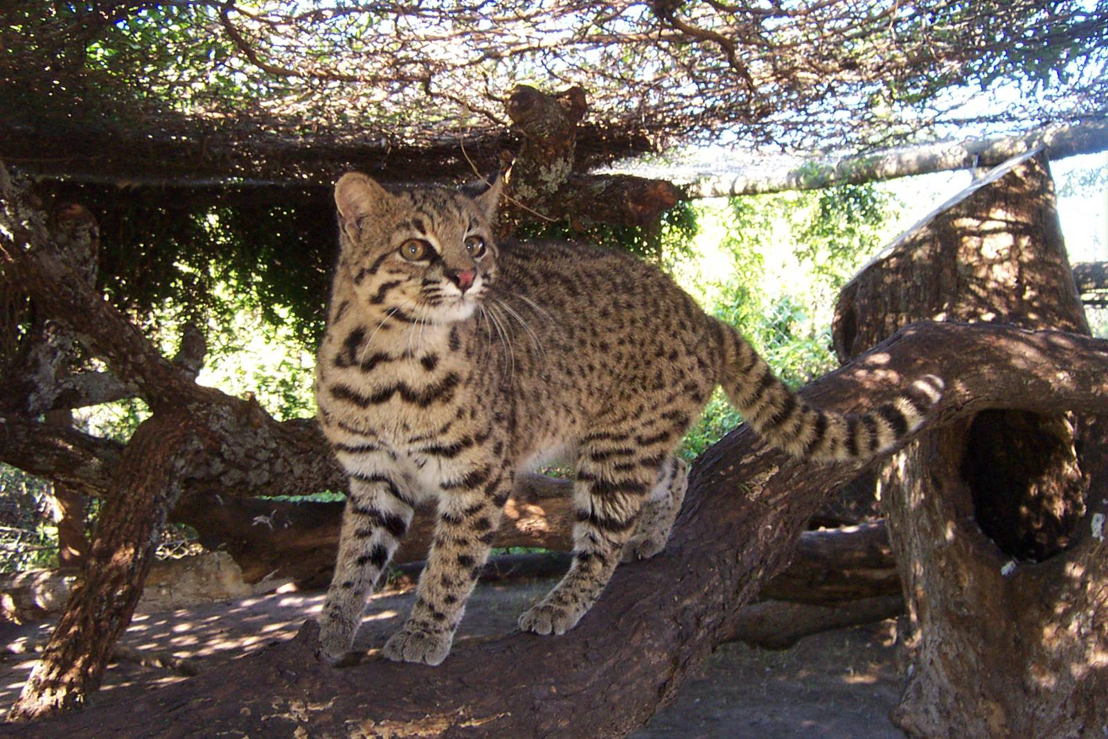 Geoffroy's Cat Pics, Animal Collection