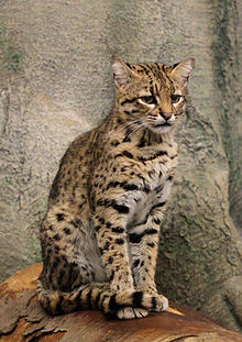 Geoffroy's Cat Backgrounds, Compatible - PC, Mobile, Gadgets| 220x311 px