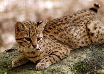 Geoffroy's Cat High Quality Background on Wallpapers Vista
