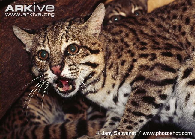 Nice wallpapers Geoffroy's Cat 650x465px