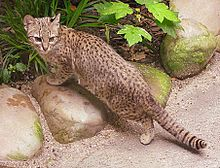 Images of Geoffroy's Cat | 220x168