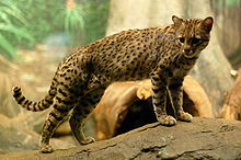 Amazing Geoffroy's Cat Pictures & Backgrounds