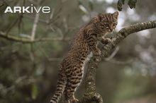Images of Geoffroy's Cat | 220x146