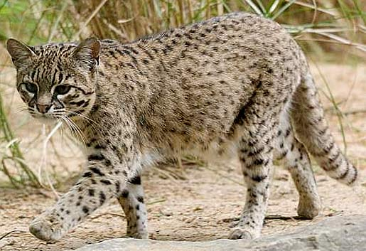 Geoffroy's Cat Backgrounds, Compatible - PC, Mobile, Gadgets| 515x353 px