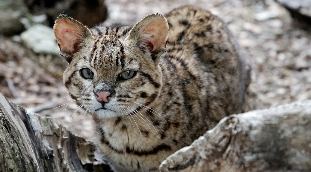 Nice Images Collection: Geoffroy's Cat Desktop Wallpapers