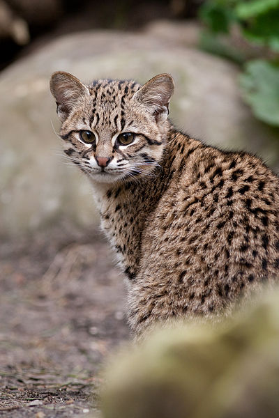 Geoffroy's Cat Backgrounds on Wallpapers Vista
